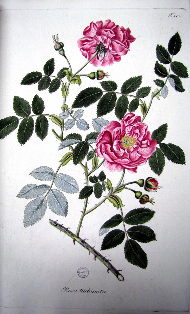 Plantarum rariorum. Feuillet 415 Rosa turbinata. Cote  882