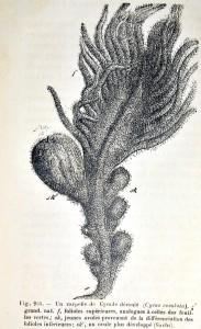 Fig.955 Carpelle de cycade déroulé. Van Tieghem. Traité de botanique. Savy, 1891. Cote 46204