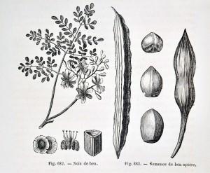 Fig.682 Noix de ben & Fig.683 semence de ben aptère. G. Guibourt ; G. Planchon. Histoire naturelle des drogues simples. Baillière, 1869. Cote 38028