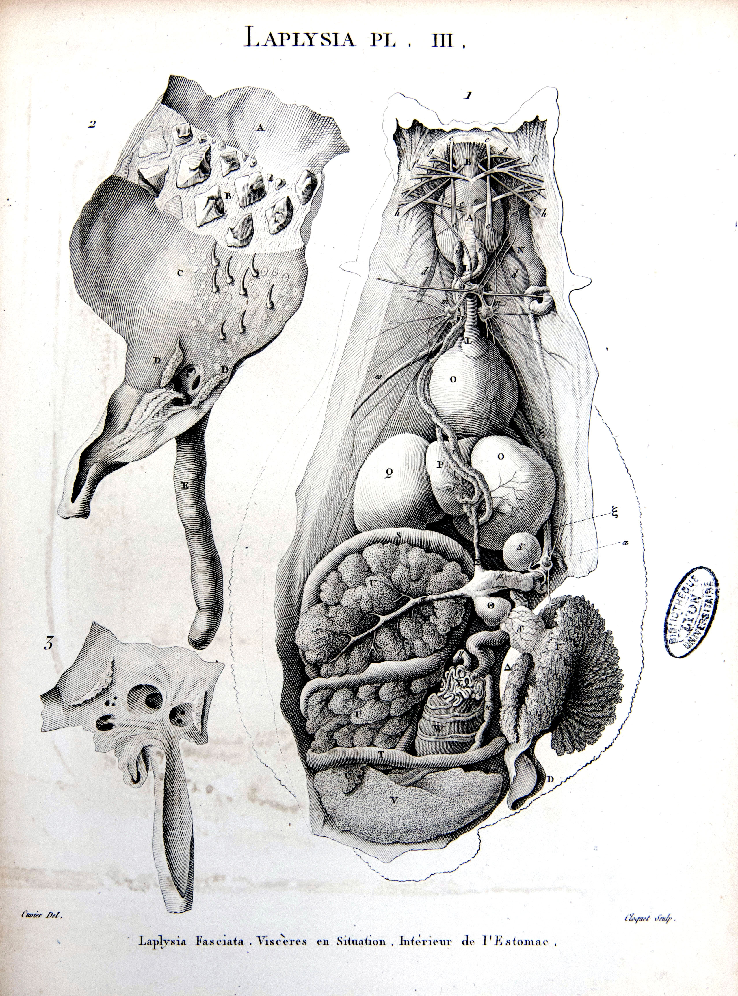 Ziemlich äußeree Anatomie Des Kalmars Fotos - Anatomie Ideen ...