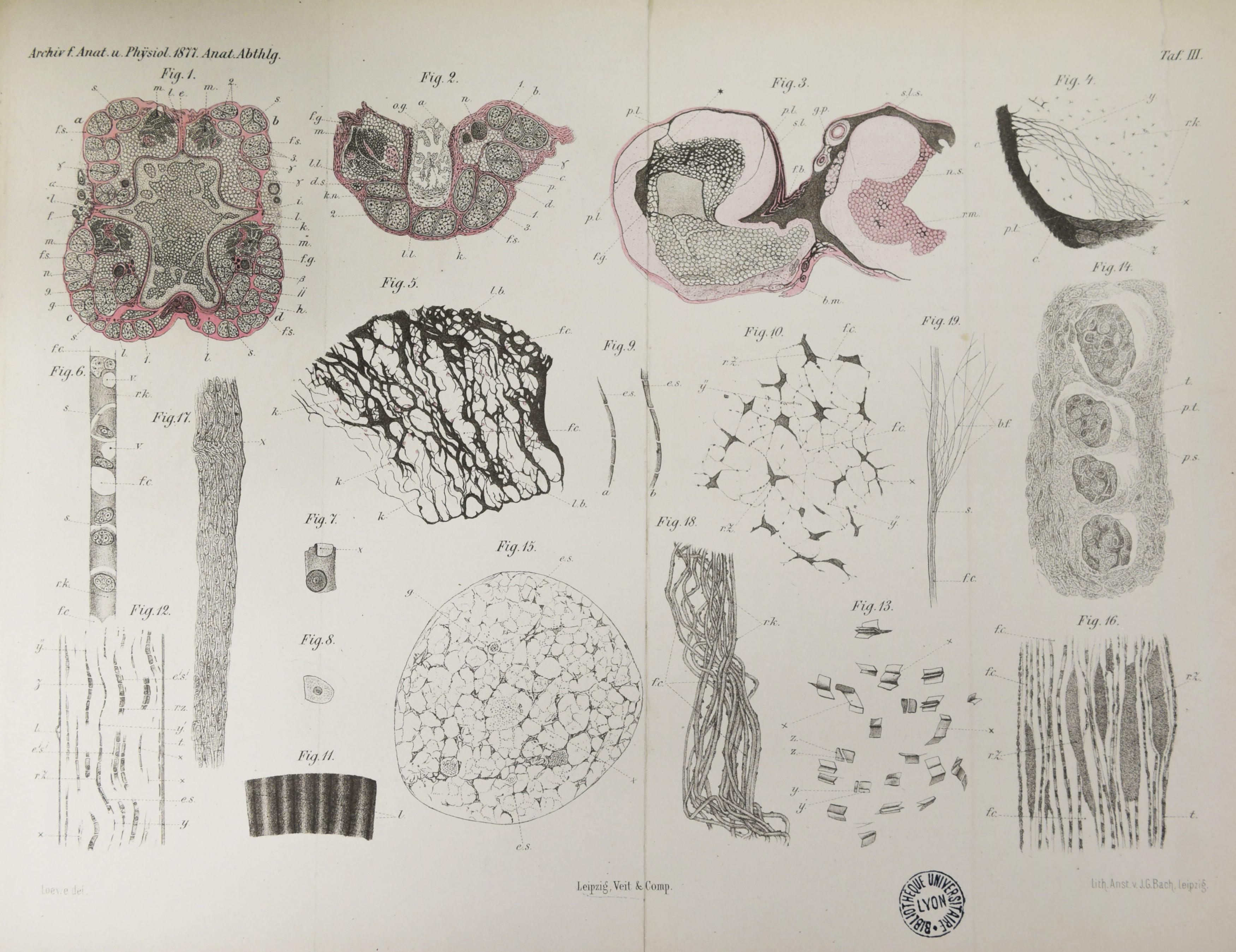Archiv für Anatomie und Physiologie 1877_Planche