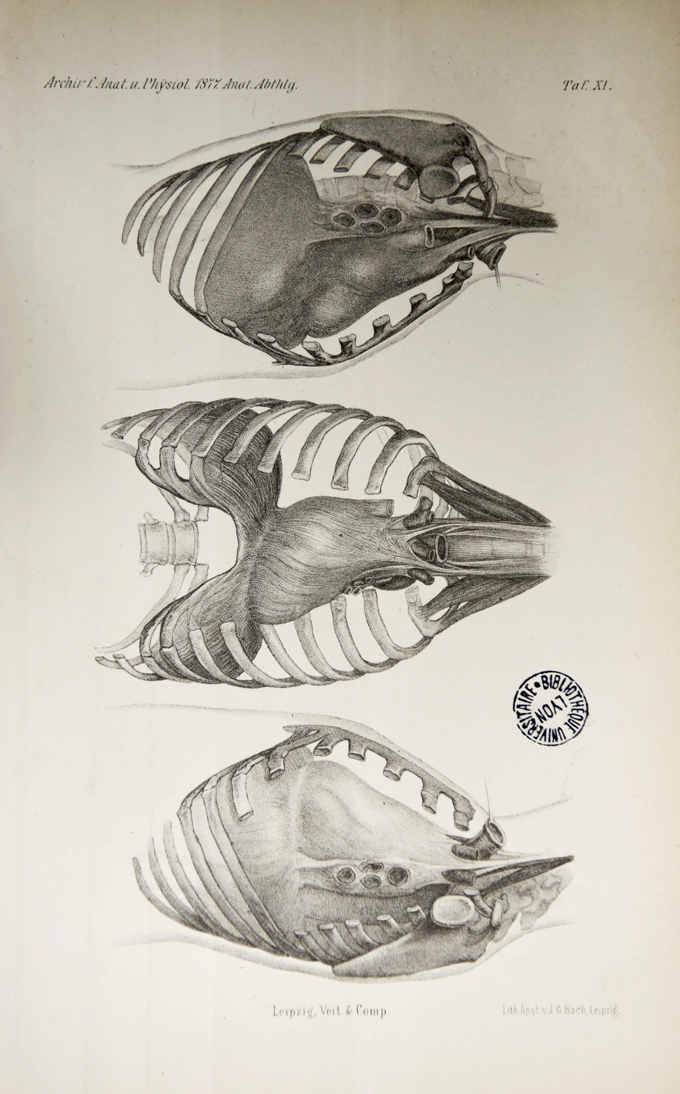 Archiv für Anatomie und Physiologie 1877_Planche II
