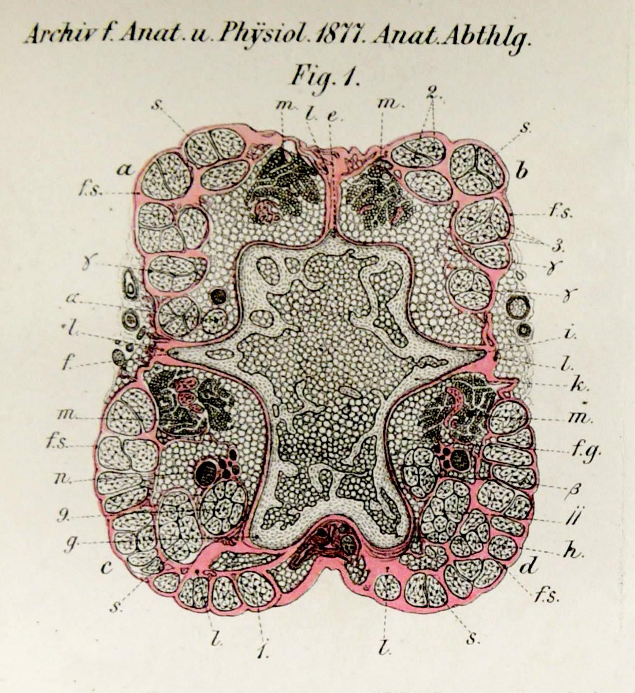 Archiv für Anatomie und Physiologie 1877_Planche I_2