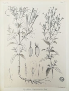 William Barbey. Epilobium, 1885.